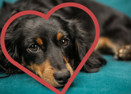 Dog Cardiology - The Heart of the Matter