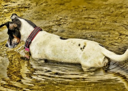 Photo of dog standing in water, where he might get giardia